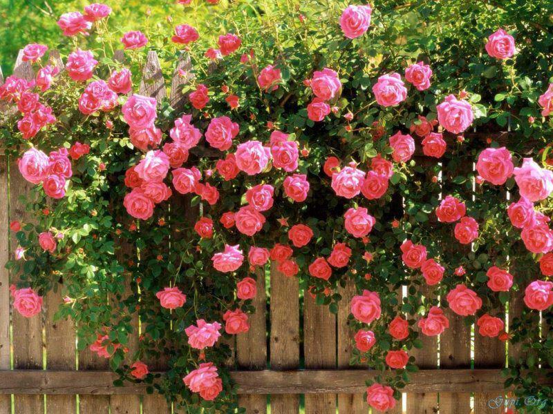pletistaya roza