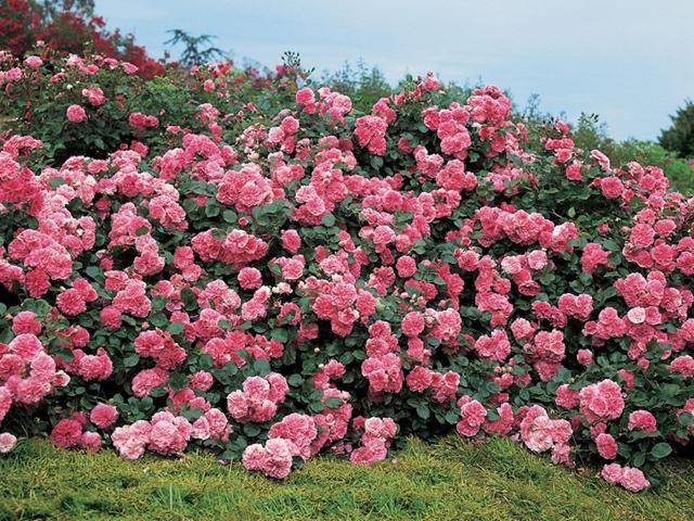 pochvopokrovnaya roza 2