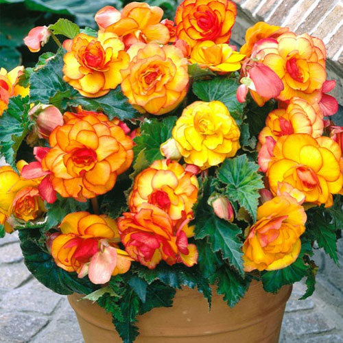 begonia picotee yellow red
