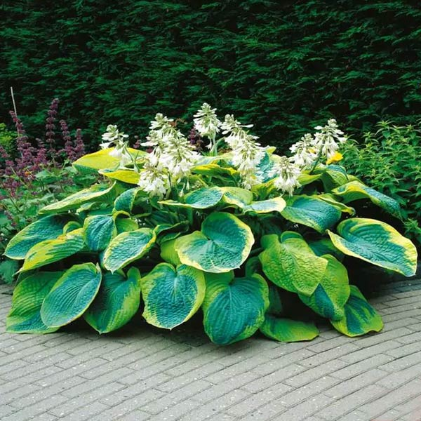 hosta francez williams